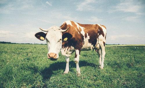 allergie aux protéines de lait de vache de plus en plus répandue