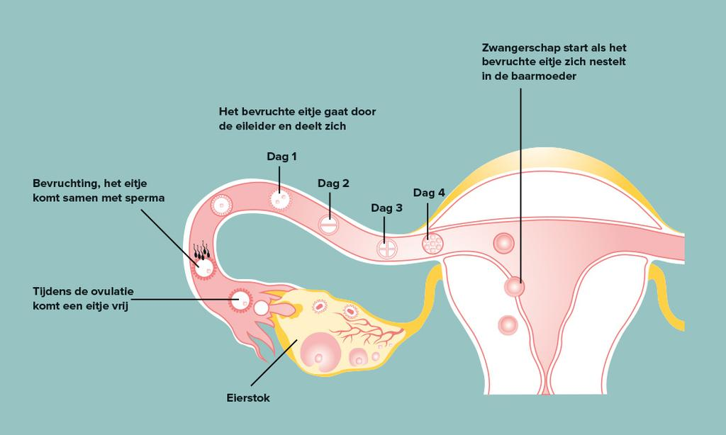 illustratie embryo