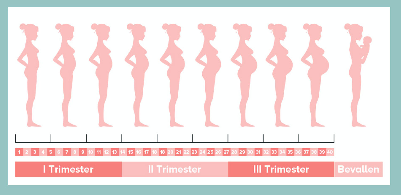 groei van buik tijdens zwangerschap