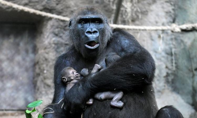 Gorilla kan overleden jong niet loslaten