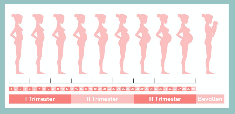 groei zwangere buik